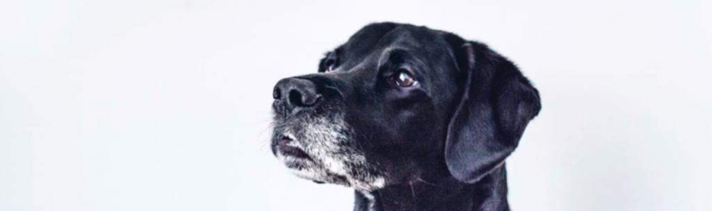 Wachhund Gebell